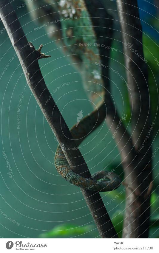 schwanz Tier Zoo 1 Schwanz Terrarium geschwungen umschlungen greifen Tarnung Ast Zweig haltend Halt braun Reptil Farbfoto Innenaufnahme Nahaufnahme