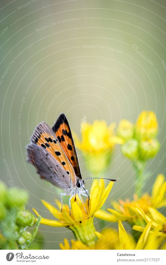 Feuerfalter Natur Pflanze Tier Blume Blüte Wildpflanze Geiskraut Garten Wiese Schmetterling Insekt 1 Blühend Duft fliegen trinken ästhetisch schön klein gelb