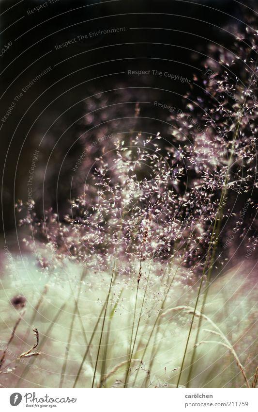 Gräser zart Umwelt Natur Landschaft Pflanze Gras Wildpflanze Wiese wild grün schwarz Halm Gräserblüte filigran dünn Staub Farbfoto Gedeckte Farben Außenaufnahme