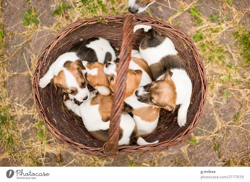 Hundewelpen Tier Haustier Tiergruppe Neugier niedlich Warmherzigkeit Leben Welpe Kuscheln Korb Baby Jack-Russell-Terrier Nachkommen Geburt Farbfoto