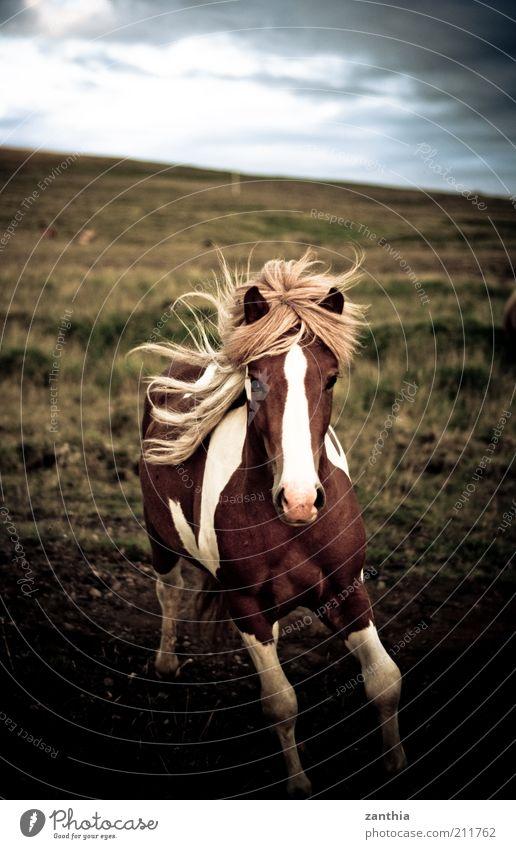 wild Natur weiß Ferien & Urlaub & Reisen Tier Ferne Leben Bewegung braun Kraft blond rennen Pferd ästhetisch Abenteuer Freizeit & Hobby