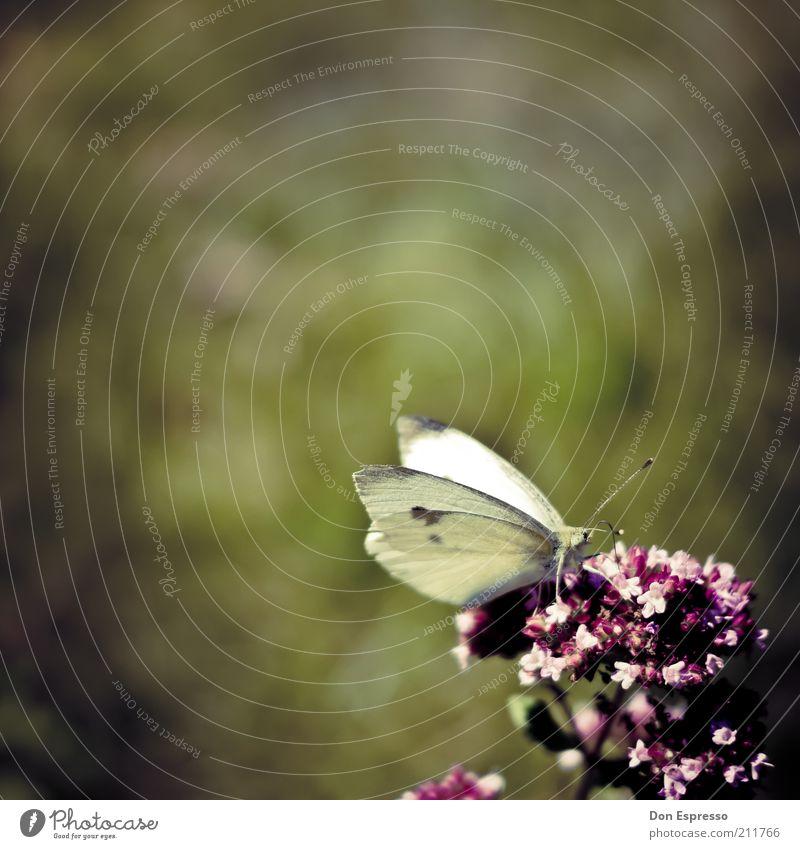 Pieris brassicae im Garten Natur Blume Pflanze Sommer Tier Wiese Blüte Frühling Park Wärme Zufriedenheit sitzen Fröhlichkeit nah weich Flügel