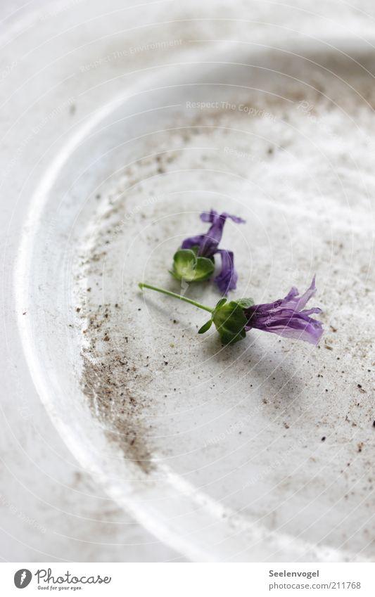 Verblüht alt weiß Blume Pflanze Gefühle Blüte träumen Traurigkeit Sand Stimmung dreckig liegen violett Geschirr Teller Nostalgie