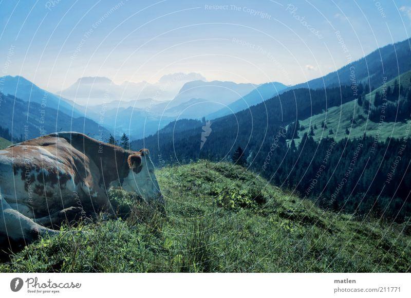 moinmoin grün blau Tier Zufriedenheit Kuh Weide Fressen Grasland Tal Berge u. Gebirge friedlich Bergkette Nutztier