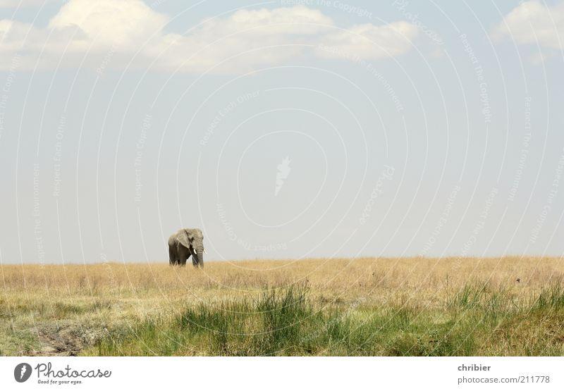 Hey, Kleiner! Komm her! Natur Landschaft Himmel Horizont Gras Savanne Serengeti Zoo Elefant Rüssel Stoßzähne Elfenbein 1 Tier gehen stehen bedrohlich dick Ferne