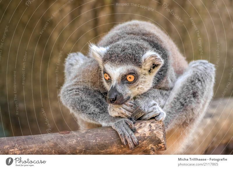Verträumt und in Gedanken Natur Tier Sonne Sonnenlicht Schönes Wetter Wildtier Tiergesicht Fell Pfote Affen Katta Halbaffen Auge 1 beobachten Denken Erholung