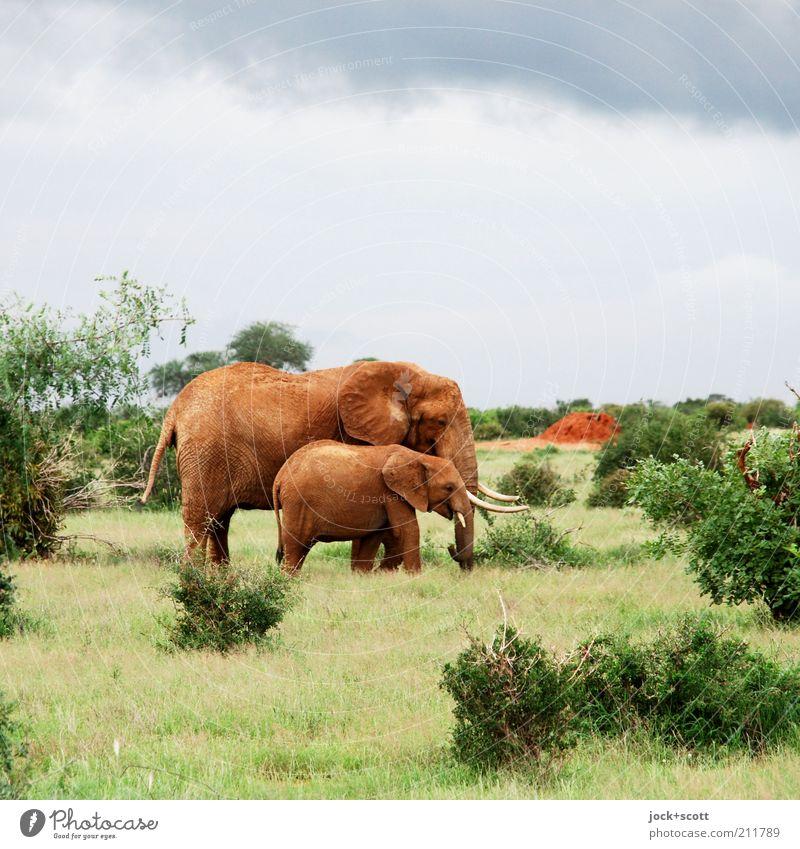 Jumbo Junior Safari Himmel Klimawandel Wärme Gras Sträucher exotisch Savanne Kenia Afrika Wildtier Elefant 2 Tier Tierjunges Tierfamilie stehen authentisch