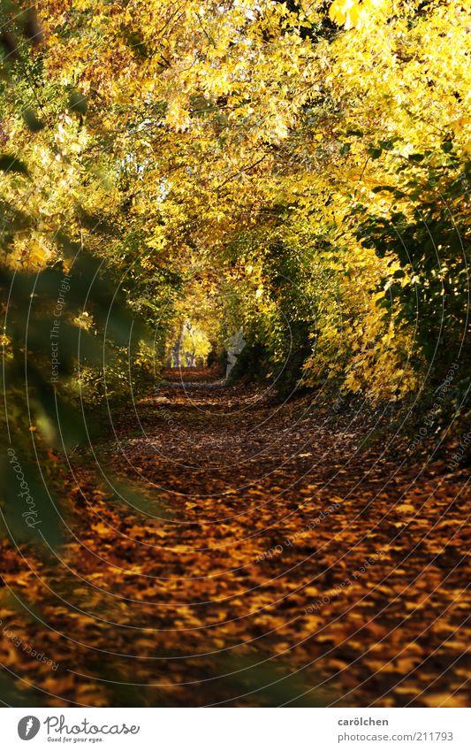 Blättertunnel Natur Baum gelb Wald Herbst Wege & Pfade Park Landschaft braun gold Herbstlaub Spazierweg Blatt herbstlich Herbstfärbung Blätterdach