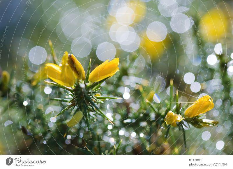 Stechginster Natur schön Blume Pflanze Sommer gelb glänzend nass frisch Sträucher außergewöhnlich Blühend leuchten feucht Tau stachelig