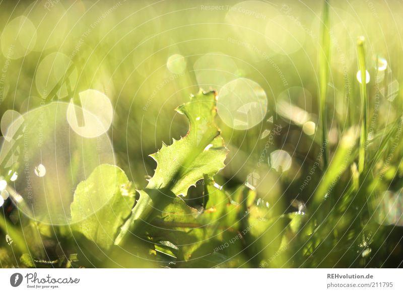 """""""Es nie zu früh und selten zu spät."""" Umwelt Natur Pflanze Gras Blatt Grünpflanze Wiese außergewöhnlich hell grün Tau Wasser nass leuchten Blendenfleck Wachstum"""