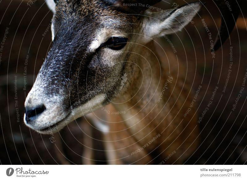 streichelzoo Natur ruhig Tier Auge braun natürlich Wildtier beobachten Tiergesicht Fell Zoo Horn achtsam Umwelt Ziegen Bock