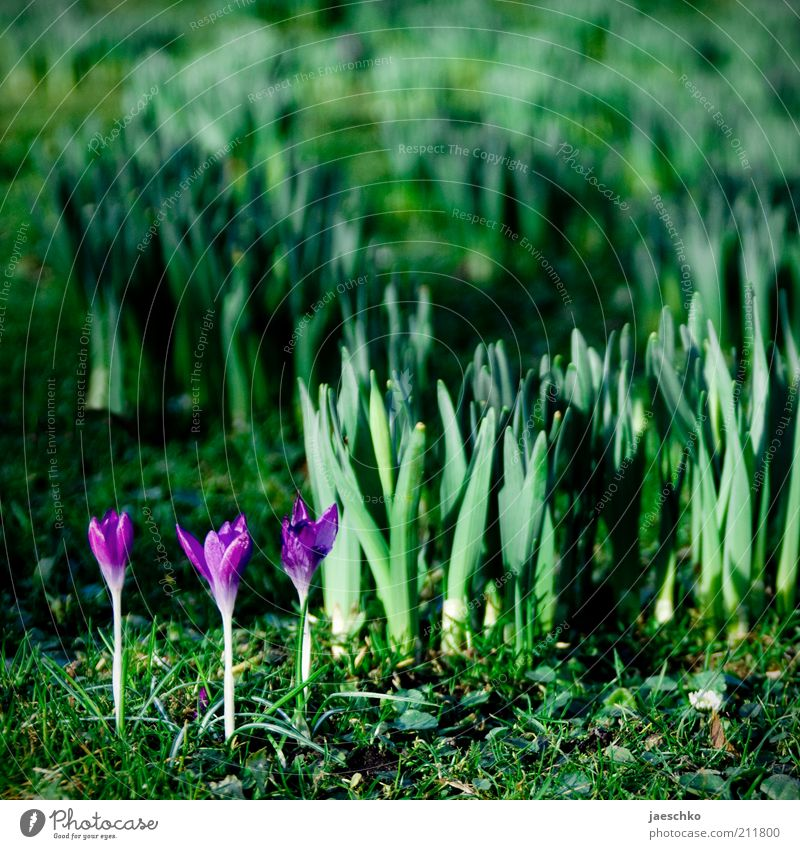Siegertreppchen Natur grün Pflanze Blüte Frühling Garten Park Umwelt frisch Wachstum Klima violett Blume zart Lebensfreude Blühend