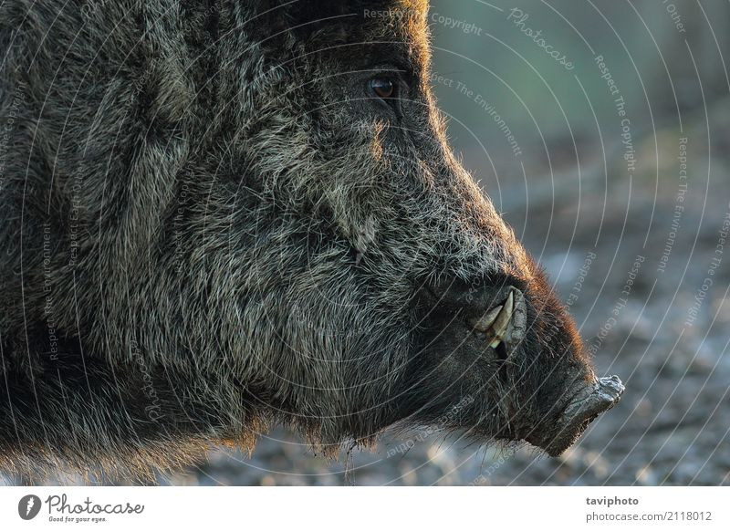 Mann alt Farbe schön Tier dunkel schwarz Gesicht Erwachsene Spielen braun Angst wild gefährlich groß Lebewesen