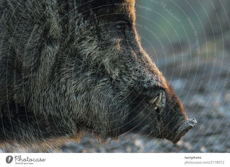 Nahaufnahme des Kopfes des wilden Ebers Mann alt Farbe schön Tier dunkel schwarz Gesicht Erwachsene Spielen braun Angst gefährlich groß Lebewesen