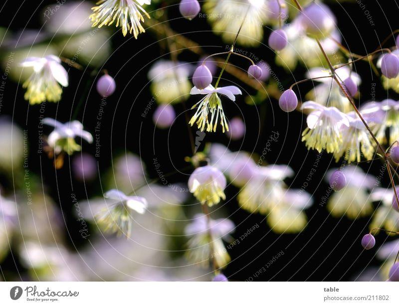 Kontraste Pflanze Sträucher Blüte Samen Blühend hängen Wachstum dunkel schön klein natürlich rund gelb violett rosa schwarz weiß Pollen Zweige u. Äste Clematis