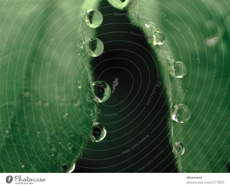 drop.drop.drop. Natur Wasser grün Blatt Zufriedenheit elegant Wassertropfen ästhetisch mehrere rund Tropfen rein einzigartig natürlich außergewöhnlich Flüssigkeit