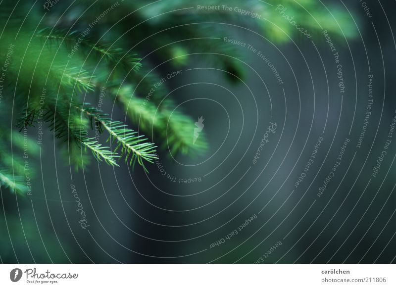 Zweige Natur grün Baum Umwelt Landschaft grau Tanne stachelig Zweige u. Äste Nadelbaum Tannennadel Nadelwald Tannenzweig