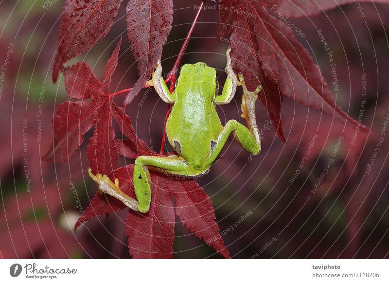 grüner Baumfrosch, der auf Blättern klettert schön Klettern Bergsteigen Umwelt Natur Tier Sträucher Blatt Wald springen klein natürlich niedlich wild Fürsorge