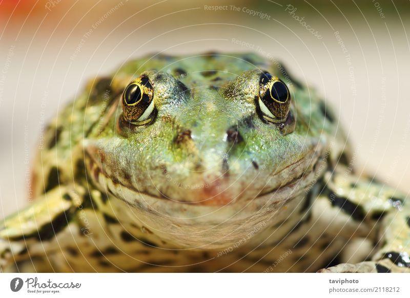 Sumpffroschporträt, welches die Kamera betrachtet Natur schön grün Tier natürlich Garten See braun wild niedlich Beautyfotografie Europäer Teich seltsam Wildnis