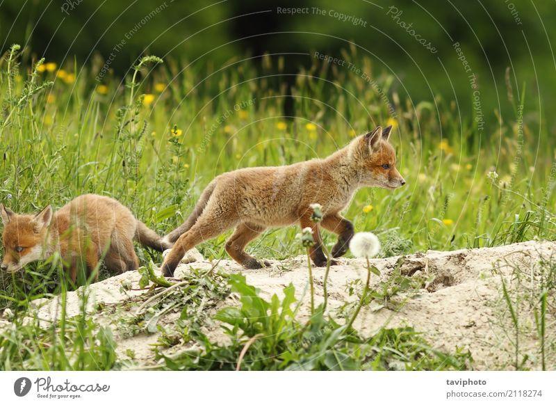 wilder Rotfuchswelpe schön Spielen Baby Jugendliche Natur Landschaft Tier Gras Pelzmantel Hund Tierjunges klein natürlich niedlich grün rot Welpe Fuchs Tierwelt