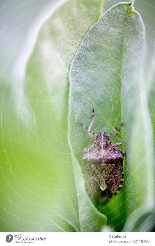 Abwarten Natur Pflanze Tier Sommer Blatt Salbei Salbeiblatt Garten Insekt Wanze 1 beobachten braun grau grün Wachsamkeit Überleben verdeckt Farbfoto mehrfarbig