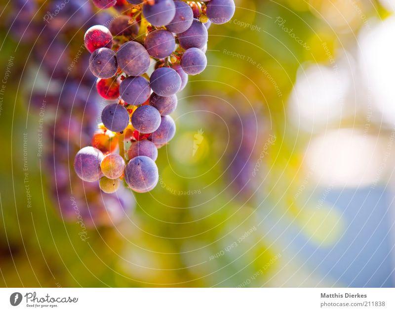 Trauben Natur grün blau rot Sommer gelb Lebensmittel elegant Wetter Umwelt Frucht frisch ästhetisch authentisch einfach violett