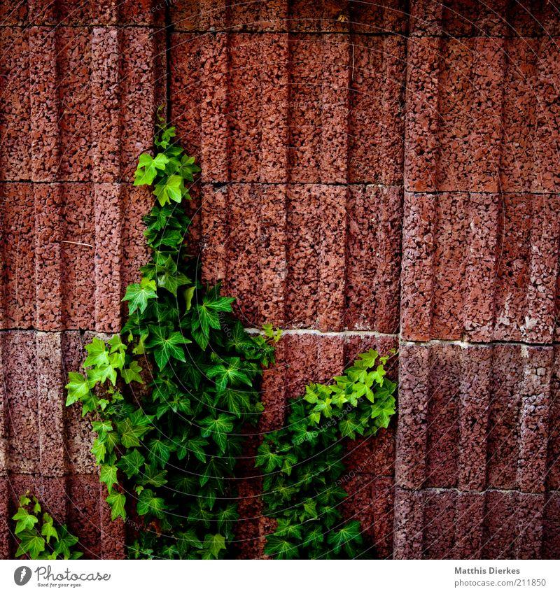 EFEU Natur alt Pflanze Sommer Wand Umwelt Wachstum Sträucher natürlich aufwärts hängen Ranke Efeu zielstrebig Kletterpflanzen Urbanisierung