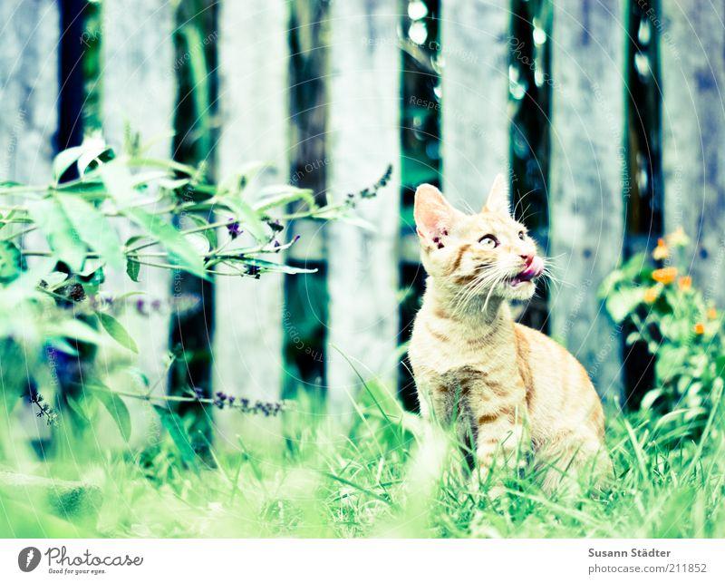 Ed von Schleck Garten Tier Haustier Katze entdecken hocken hören Jagd schön lutschen Katzenbaby Katzenzunge Appetit & Hunger beobachten Blick Gartenzaun