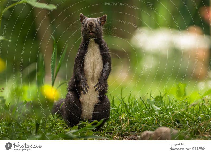 schwarzes Eichhörnchen Umwelt Natur Tier Frühling Sommer Herbst Schönes Wetter Gras Garten Park Wiese Wald Wildtier Tiergesicht Fell Krallen Pfote 1 Tierjunges