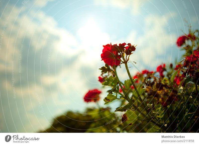 Geranie Himmel Natur Pflanze rot Sommer Umwelt Blüte rosa ästhetisch Wachstum Dekoration & Verzierung weich Blume Blühend Blütenknospen Orchidee