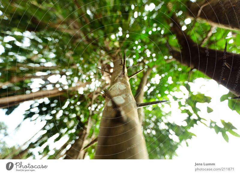Thorns Baum grün Ferien & Urlaub & Reisen Blatt Wald braun Spitze außergewöhnlich skurril Baumstamm Baumkrone Baumrinde Dorn