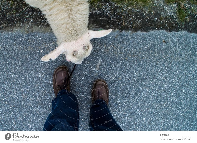 Schnürsenkel-Fresser Natur Sommer Tier Haustier Schaf 1 Beton berühren Fressen Ferien & Urlaub & Reisen außergewöhnlich frech lustig Freude Sicherheit friedlich