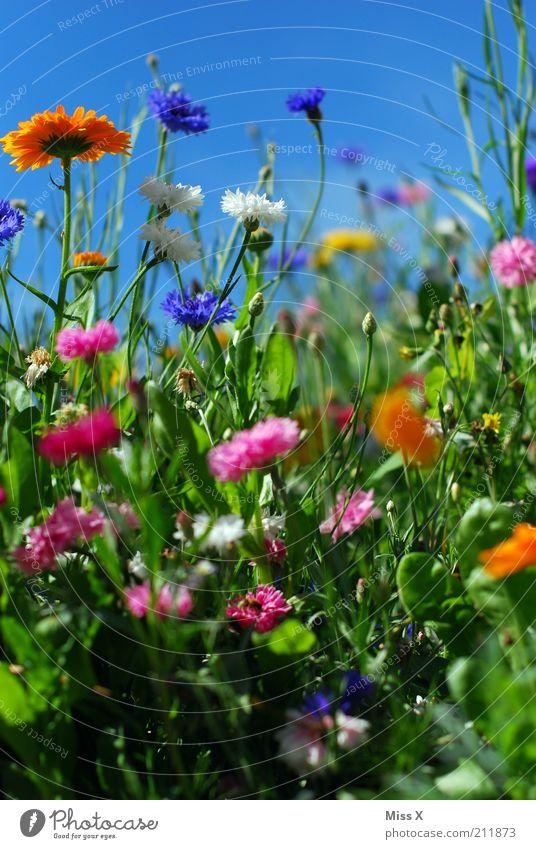 Sommerwiese Garten Natur Pflanze Frühling Schönes Wetter Blume Gras Blüte Wiese Blühend Duft Wachstum Fröhlichkeit mehrfarbig Stimmung Erholung Idylle