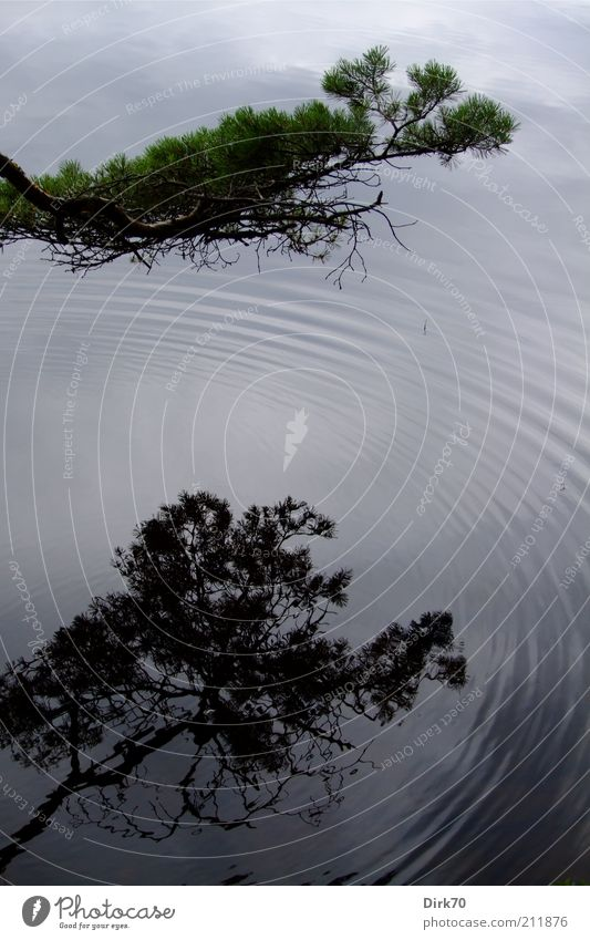 Spiegel des Sees Natur Pflanze Sommer Baum Nadelbaum Zweig Ast Tannennadel Wellen Seeufer Schweden Kreis konzentrisch Flüssigkeit glänzend nass grau ruhig