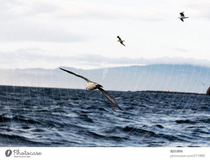 Vestmannaeyjar | Iceland Meer Insel Wellen Umwelt Natur Landschaft Tier Wasser Himmel Wolken Wind Küste Wildtier Vogel Flügel Möwe Möwenvögel 3 Tiergruppe