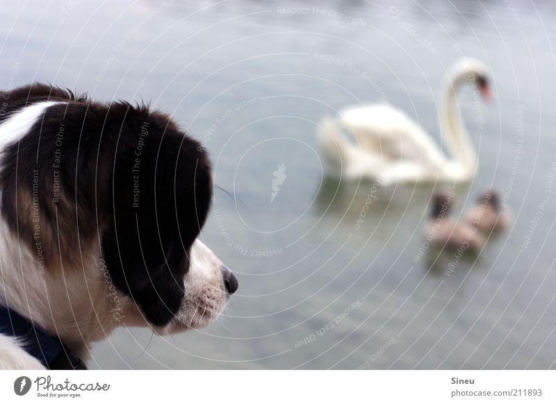 Schröder mit Schwan Ferien & Urlaub & Reisen Freiheit Tier Küste Seeufer Hund 4 Tierfamilie beobachten warten frech Freundlichkeit niedlich wild Akzeptanz