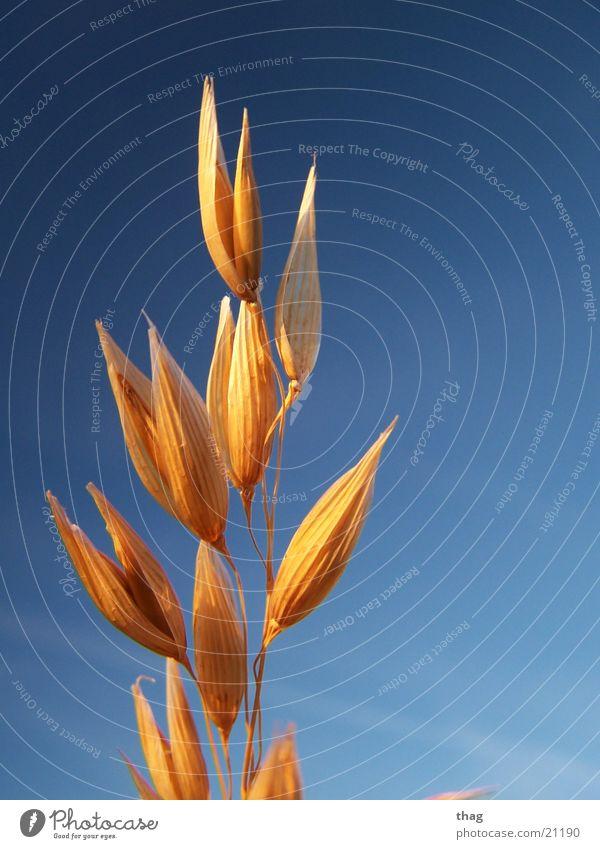 Korn Himmel Pflanze Winter Getreide Samen verwittert Winterlicht