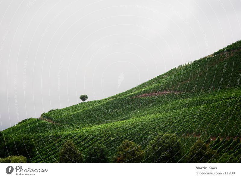 SüdHang Umwelt Landschaft Sommer Herbst Wetter schlechtes Wetter Pflanze Hügel Berge u. Gebirge grau grün Wein Weinbau Weinberg Baum einzeln Landwirtschaft