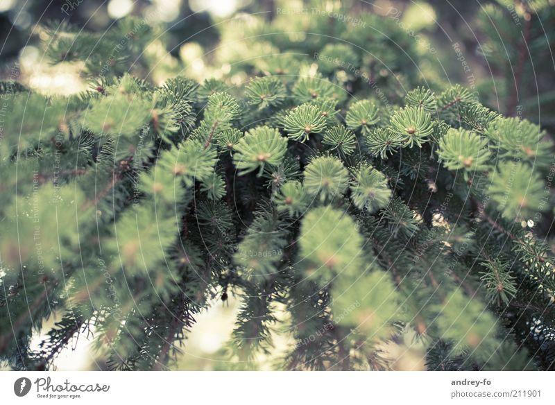 Perspektive Umwelt Natur Baum Tanne Tannenzweig Holz braun grün Tannennadel Forstwirtschaft Ast hängend Tannengrün Forstwald Sommer Nadelbaum Nadelwald Bergwald