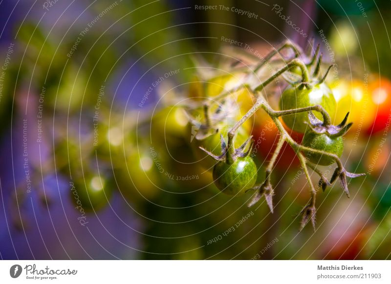 Tomaten Lebensmittel Gemüse Ernährung Bioprodukte Vegetarische Ernährung Umwelt Natur Sommer Wetter Schönes Wetter Pflanze Grünpflanze Nutzpflanze ästhetisch