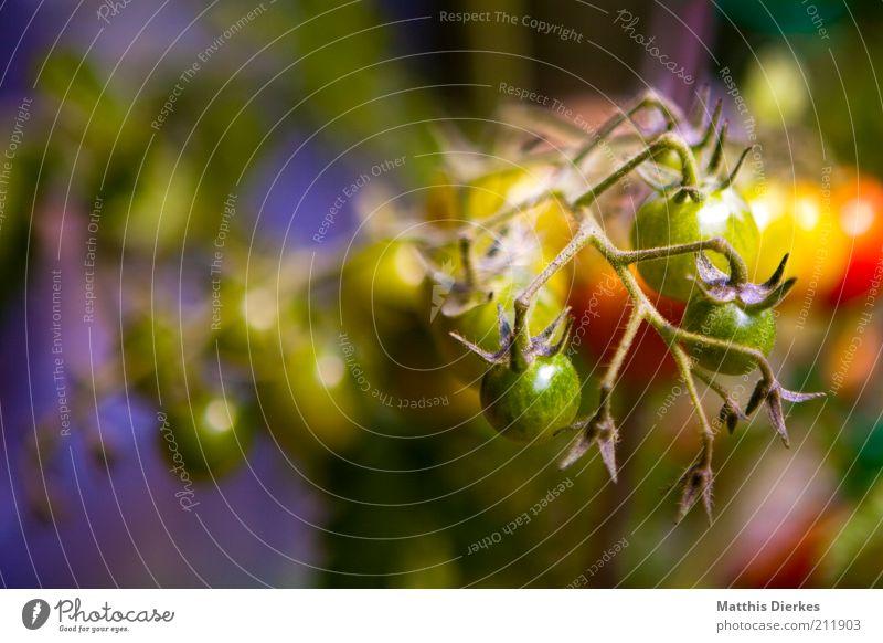 Tomaten Natur grün Sommer rot Pflanze gelb Umwelt Garten Gesundheit Wetter Lebensmittel Wachstum Ernährung ästhetisch Schönes Wetter Gemüse