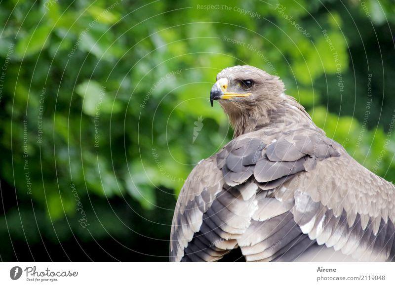 Scharfblick Tier Wildtier Vogel Flügel Adler Schnabel Bussard Greifvogel 1 beobachten Jagd Blick warten ästhetisch groß natürlich braun grün selbstbewußt Kraft