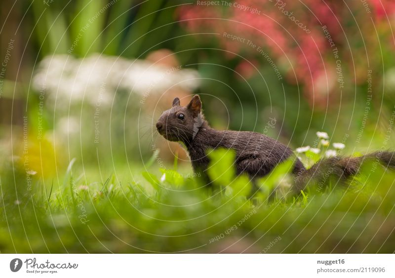 schwarzes Eichhörnchen Umwelt Natur Pflanze Tier Sonnenlicht Frühling Sommer Herbst Blume Gras Sträucher Garten Park Wiese Wald Wildtier Tiergesicht Fell 1