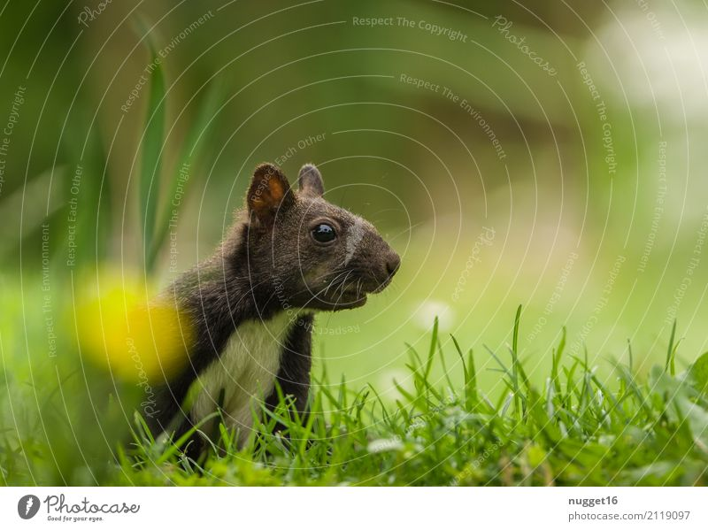 Eichhörnchen Umwelt Natur Tier Frühling Sommer Herbst Blume Gras Garten Park Wiese Wald Wildtier Tiergesicht Fell 1 Tierjunges ästhetisch frech Freundlichkeit