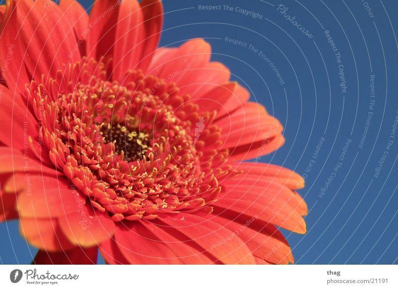 blossoming Himmel Blume Pflanze Blatt Blüte Blühend Gerbera