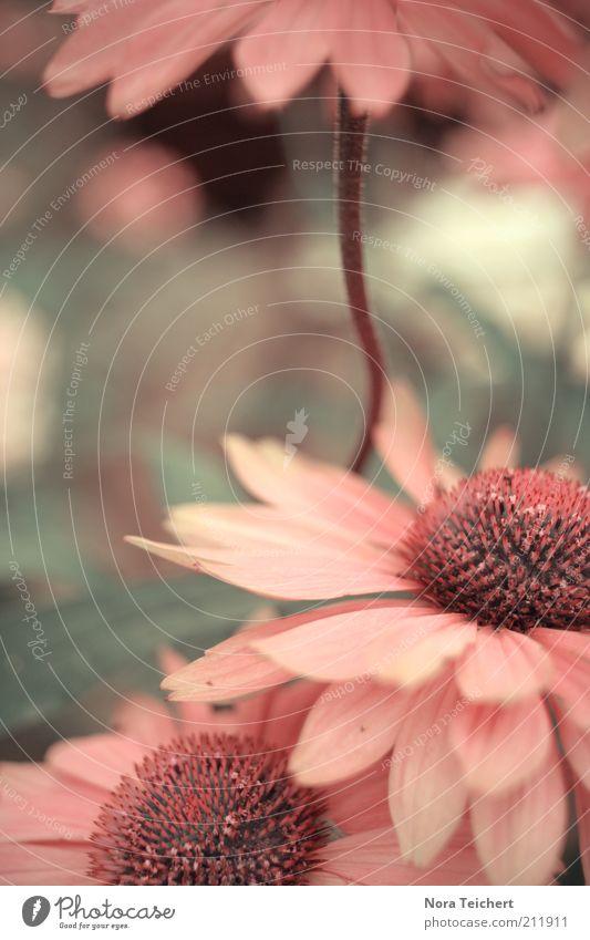 Blumenschirm Natur Pflanze schön Sommer Umwelt Blüte Gefühle Frühling rosa träumen Wachstum leuchten frisch Idylle Fröhlichkeit