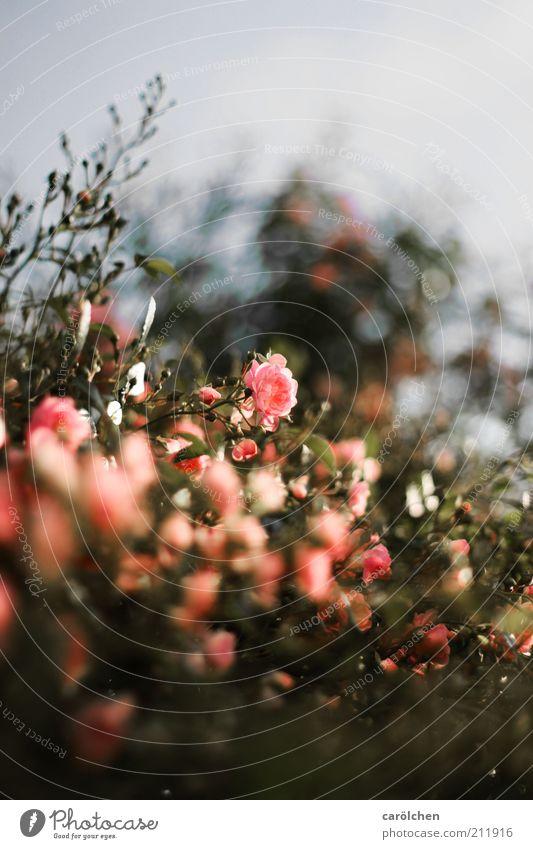 rosa Rosen Natur grün Pflanze Blume grau Blüte Sträucher Kitsch Rosengarten Rosenstock Strauchrose Wildrosen