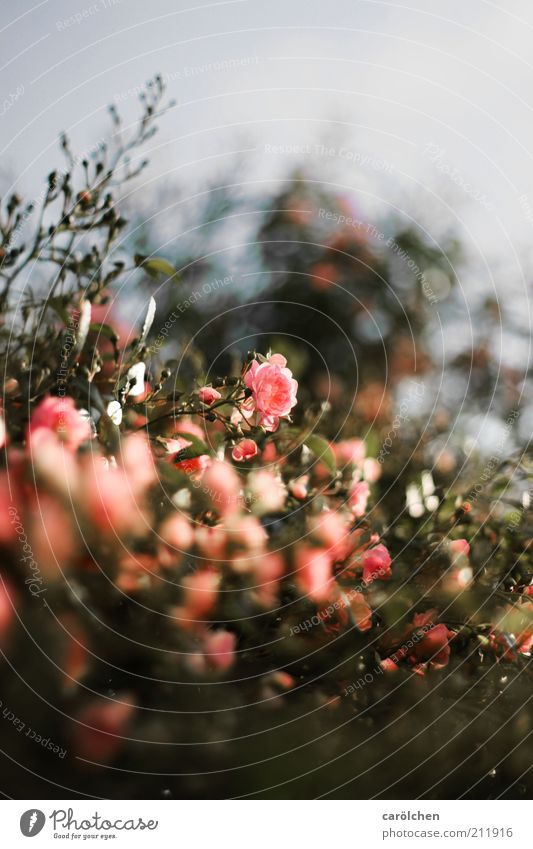 rosa Rosen Natur Pflanze Blume Sträucher Blüte Kitsch grau grün Wildrosen Strauchrose Rosengarten Rosenstock Farbfoto Gedeckte Farben Außenaufnahme