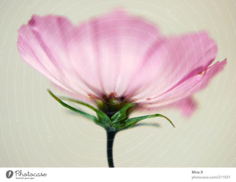 Cosmea Natur Pflanze Sommer Blume Blüte Blühend Duft Wachstum exotisch schön rosa rein leicht weich zart sanft hell Schmuckkörbchen Farbfoto Studioaufnahme