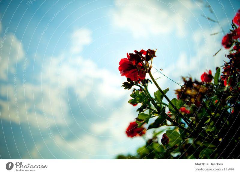 Geranie Natur blau grün Pflanze rot Blume Sommer Blatt Umwelt Blüte Wärme ästhetisch Wachstum Dekoration & Verzierung Schönes Wetter exotisch